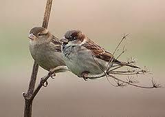 sparrows 1