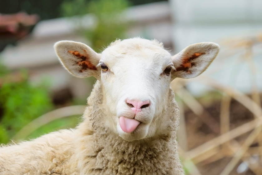 Funny-Sheep-Facts