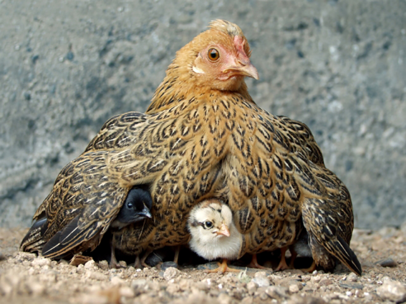 This image has an empty alt attribute; its file name is momma-hen.jpg